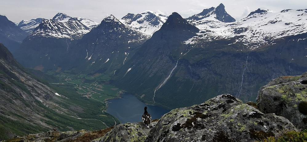 Ei uredd rype skuer Norangsfjorden mot Øye