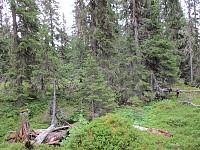 Det var noen partier med urskog her oppe