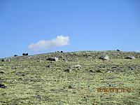 Alarmen hadde nok gått, og alle moskusene i nærheten hadde trukket opp på toppen som var mitt første mål for turen.