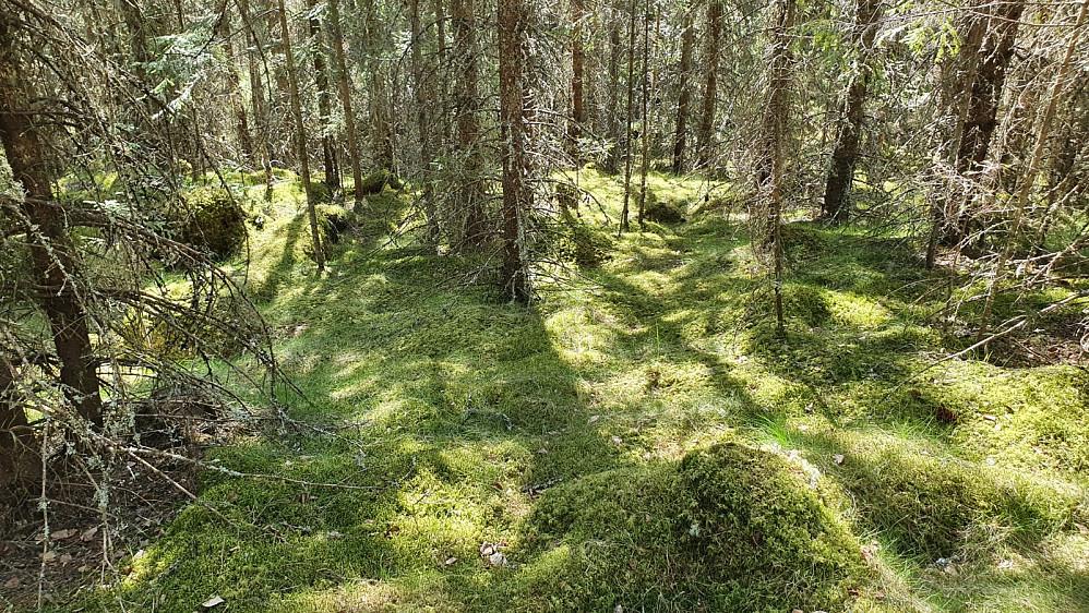 I den gamle skogen ned mot start, var skogbunnen helt grønn av mose.