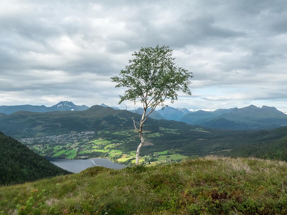 Et enslig tre på ryggen nedenfor Rotsethornet. Rotevatnet synes nede til venstre.