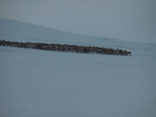 .....en reinsdyrflokk på ca 200 dyr.