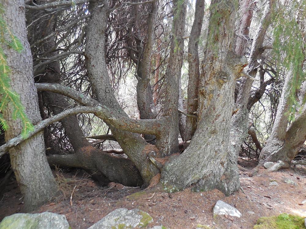 Ett individ? Denne grana vokste i stikanten på ca. 950 moh.