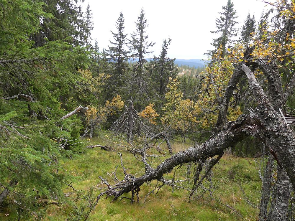 Gjennom gammelskog i Turtroa naturreservat.