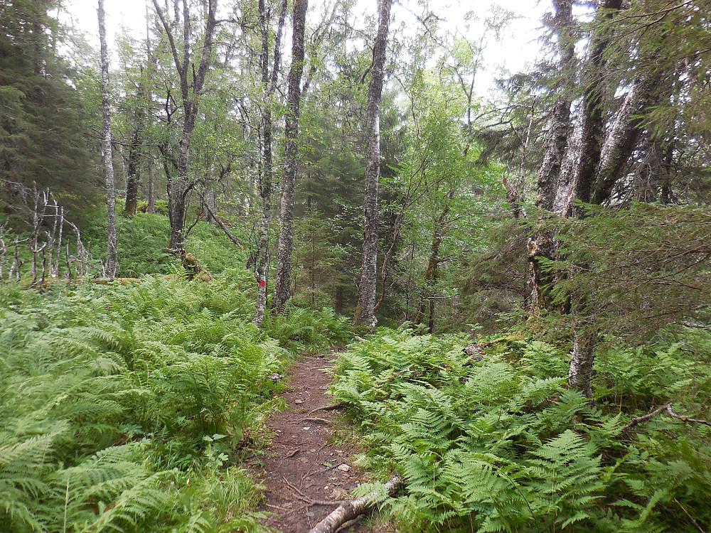 Spennende tur gjennom gammel blandingsskog opp fra p-plassen.