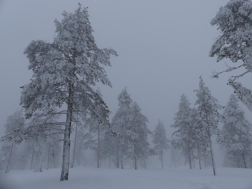 Jeg snudde på Lauvåsen vest, 597 moh.