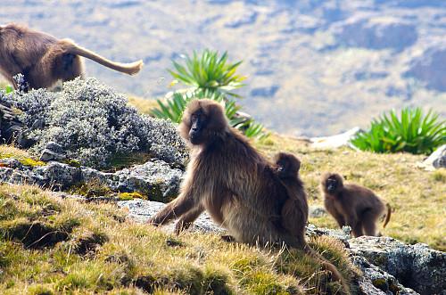 Image 15: Gelada Monkey with child on its back.