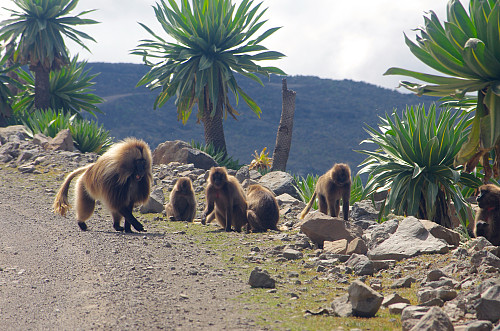 Image 14: As we were crossing the road that goes through the Simien Mountains National Park, we encountered a large flock of Gelada Monkeys.
