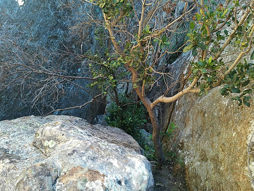 This little tree, which was clinging onto the rock as best it could, with roots extending into the fissures of the rock; gave me something to hold onto when climbing the near vertical rock beneath it.
