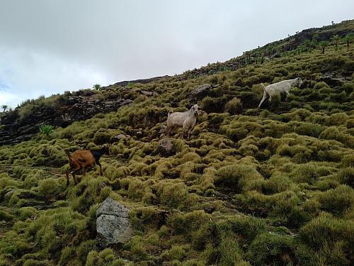 #35: Grazing goats in the mountainside of Ras Dashen.