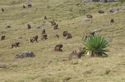 #66: All of a sudden there was a huge number of Gelada Monkeys around us...