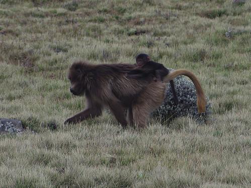 #71: Female Gelada Monkey with child on its back.