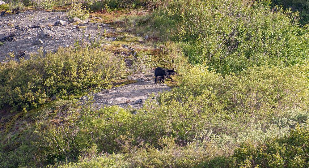 Svartbjørn nedenfor Camp I