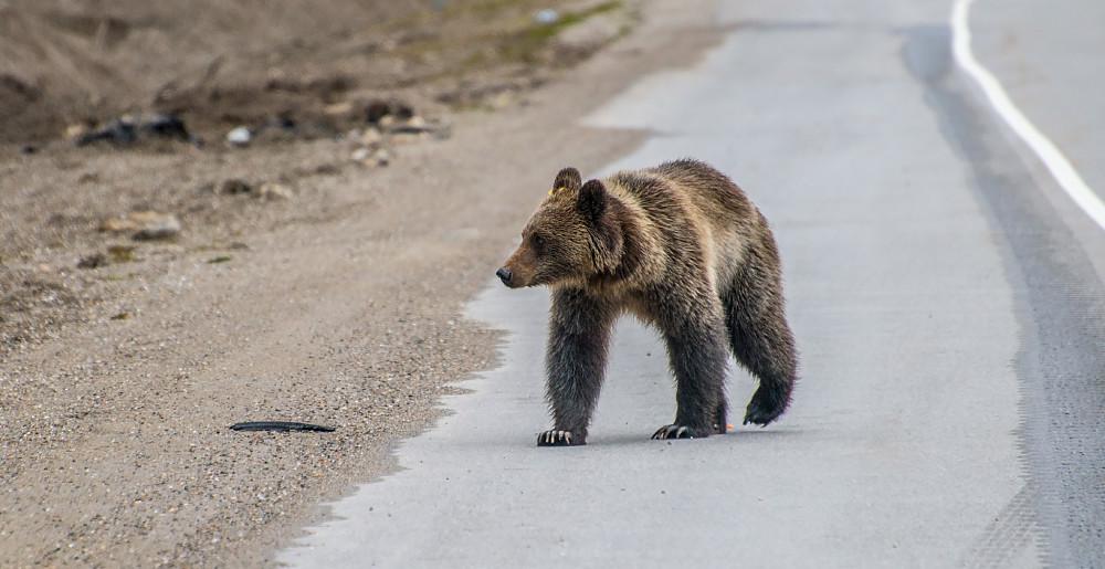 Grizzlybjørn ved Rogers Pass