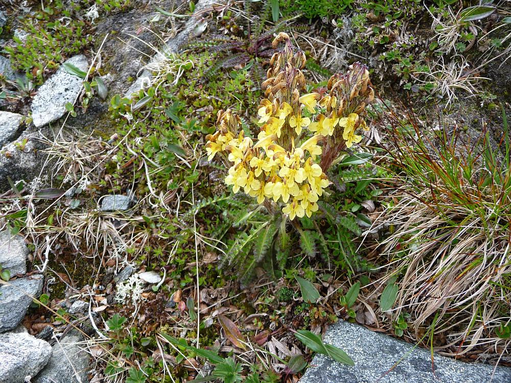 Fine blomster i fjellheimen