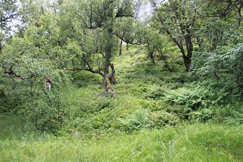Inn i brattere terreng, men har var det et fint hjortespor.