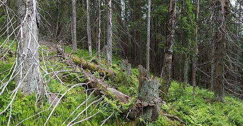 Fin eldre skog i sørhellingen.