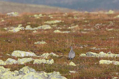 Litt fugl å se her og der. Noen heiloer på trekk, og her en fjellrypestegg.