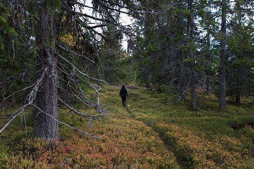 Blåmerket sti går gjennom fin gammelskog over toppen av Kjølberget,