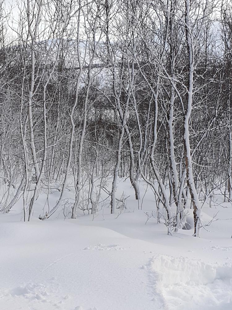 Vakker fjellbjørkeskog