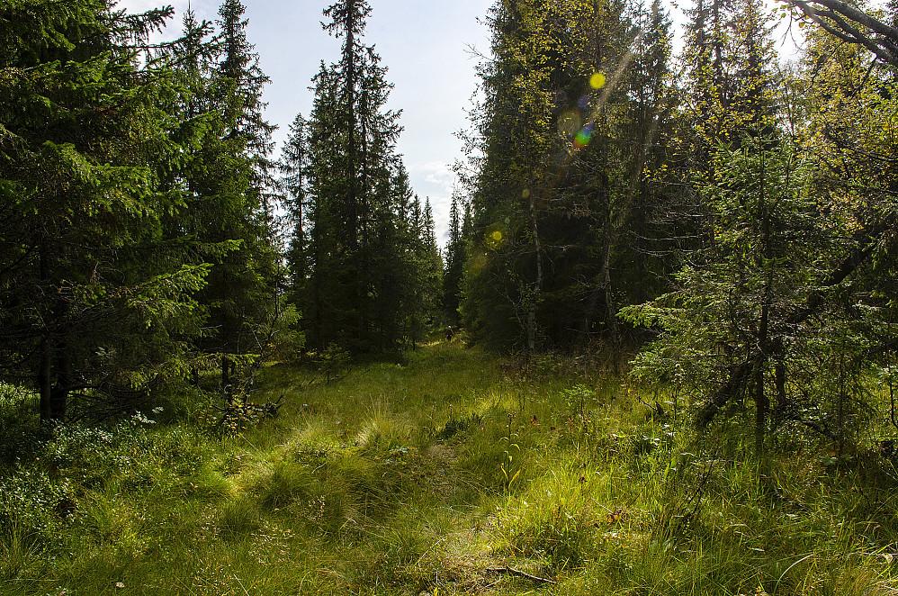 Fulgte blå merket sti som gikk over til rødt når vi nærmet oss Tverrfjellsætra. fin sti gjennom skogen.