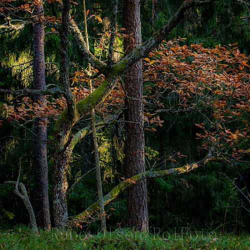 Blandingsskog