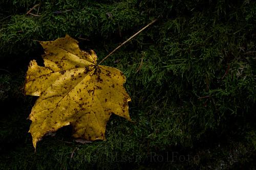Spisslønnblad på mosegrodd skogbunn