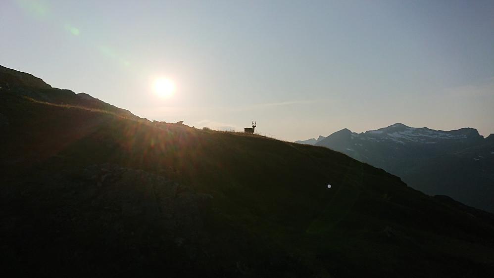 Ett reindsdyr poserte villig