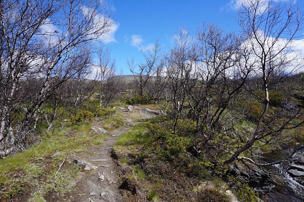 Bjørkemålerlaraver har ødelagt skogen, trist...