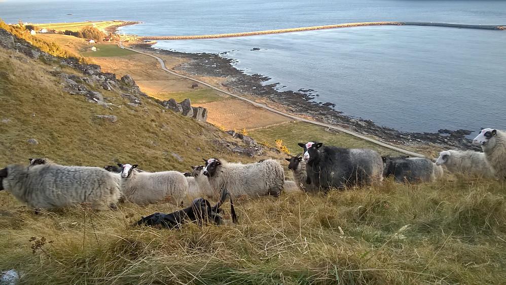 Sauer frå Austevoll iflg bonden vi snakka med. Han fekk 5 øre kiloen for eit lam han slakta i fjor. 27 kilo slaktevekt vart 1 kr og 70 øre i oppgjer.