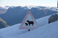 OBS, husdyr i fjellet!