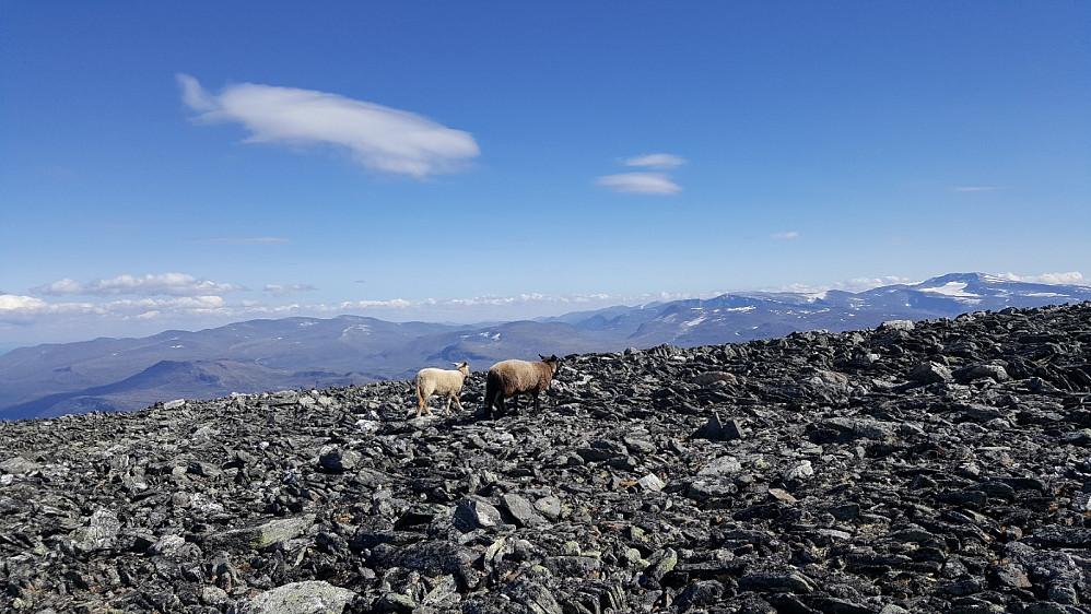 Sauer i over 2000-meters høyde i steinrøysa like før Storivilen