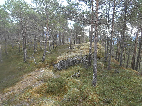 Furuskog på Kollane.