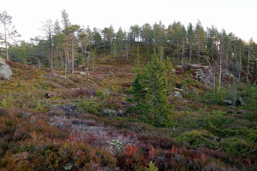 Siste strekningen mot toppen på Jondalsåsen (579) hvor man må rusle i lyngen.