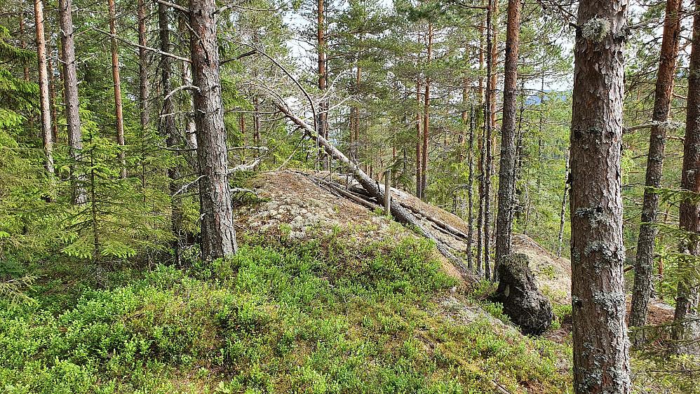 En furu har veltet over toppen på Midtkollen (350).