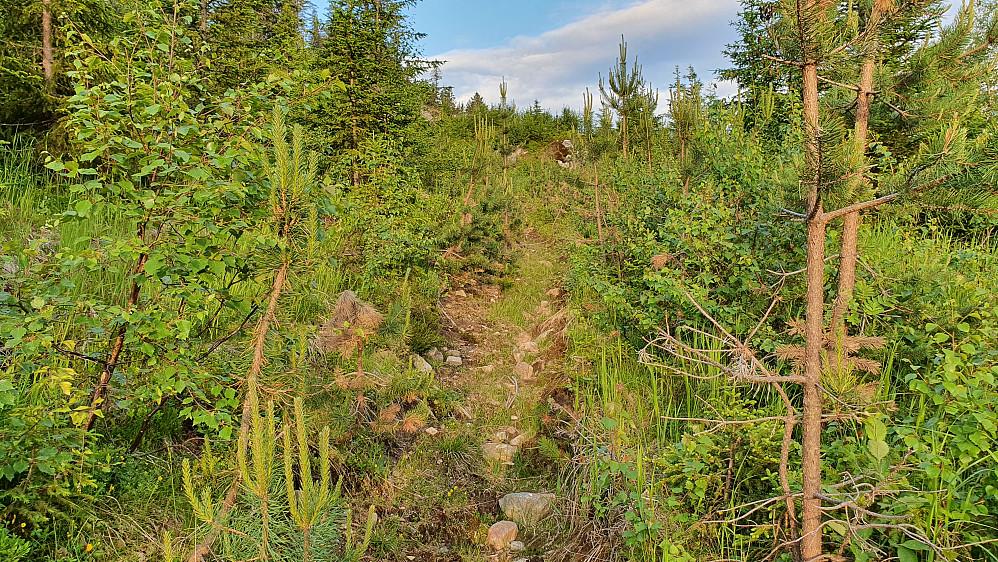 Oppover i Gvitåslie ble traktorveien til en smal stripe gjennom småkrattet.