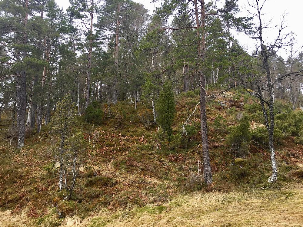 Ferdig med første del gjennom granskogfelt og videre åpen skog oppover ryggen hvor terrenget åpnet seg mer etterhvert