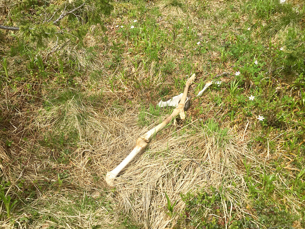 Noe som har blitt godt rensket av andre rovdyr/fugler. Det var noen lange knokler og satser på det var en hjort!