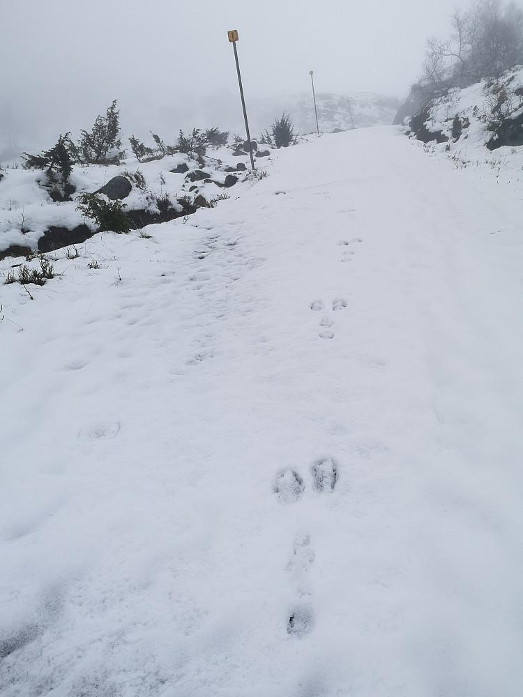 Eneste spor i snøen bortsett fra mine fra søndag oppover veien mot Sagetindane var harepusen sine :-)