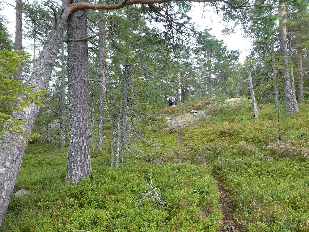 Nærmer oss toppen og stien går i fin blåbærlyng med glissen furuskog