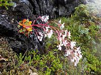 Vakker blomster på Kjerringfjellet