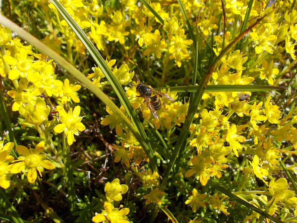 Bie og blomster