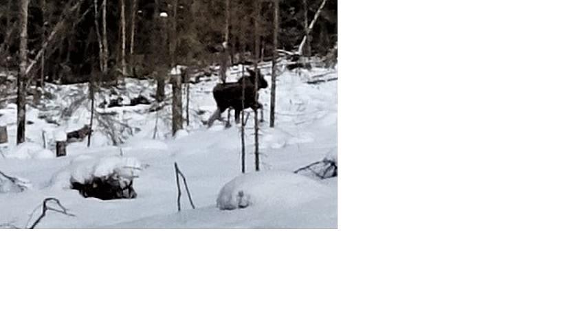 Hund jager elg (På litt langt hold)