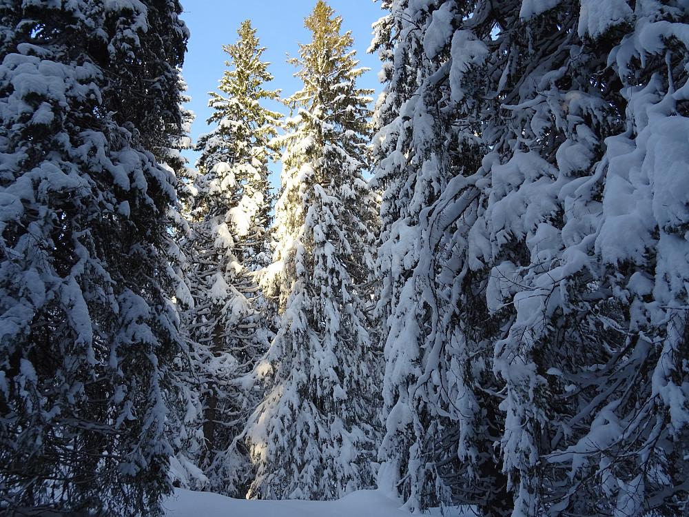 Skikkelig skog inn mot toppen av Skardsberget.