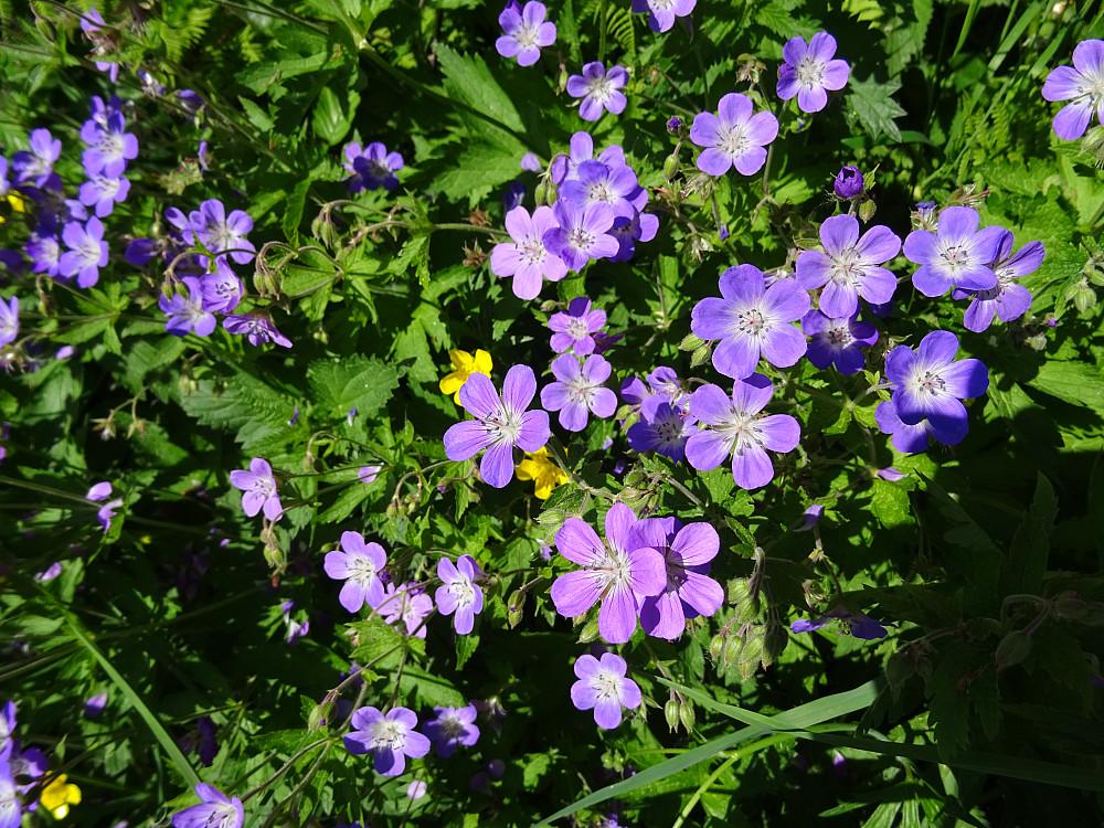 Vakre blomster i veikanten